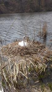 Mama swan let me get very close