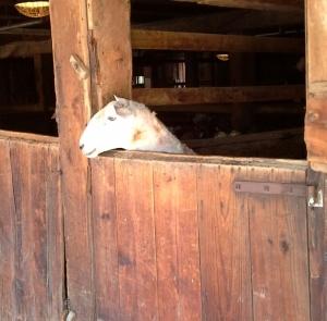 Supervising the sheep shearing