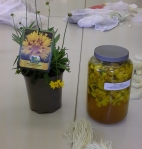 Coreopsis, plant, tincture