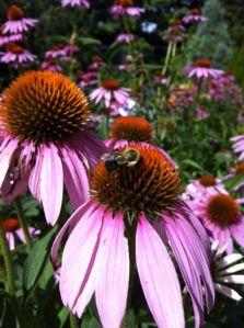Ecinacea, Coneflower, bee