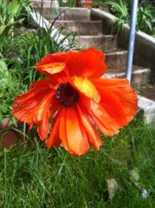 Oriental Poppy, flower